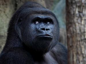 gorilla-in-Frankfurt-Zoo--004
