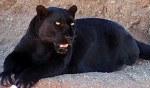 Black panther, Qilinmon at the English language Wikipedia