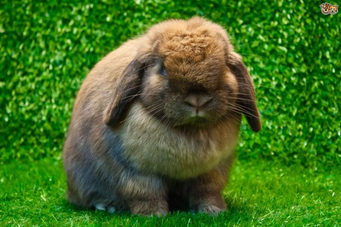 best-house-rabbit-breeds-on-the-planet-54d4f74d4d59f